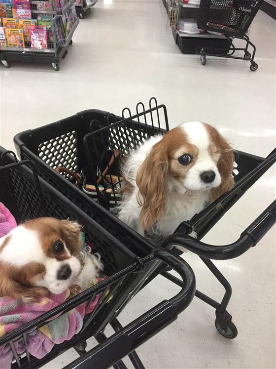 """""""Ты – моё отражение?!"""" 2 особенные собаки случайно встретились в супермаркете – и их хозяйки замерли от удивления!"""