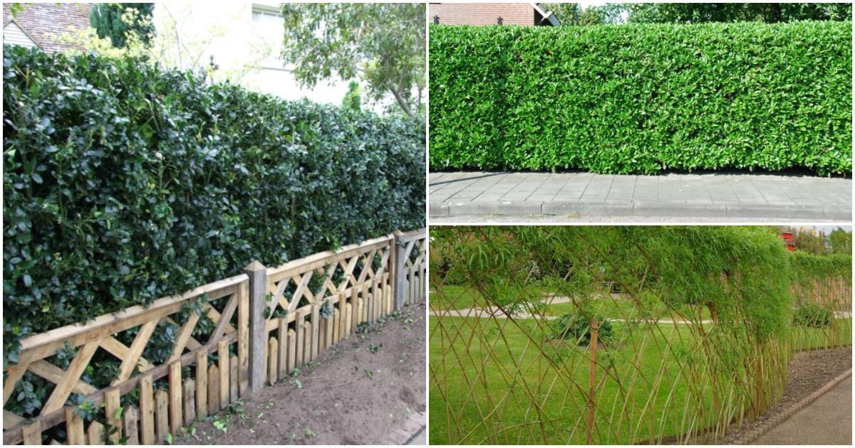 Живая изгородь на вашем участке: красиво, экологично, эстетично