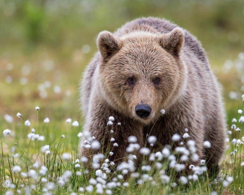 Медведь без еды, волк, животные, медведь, пингвин, факты