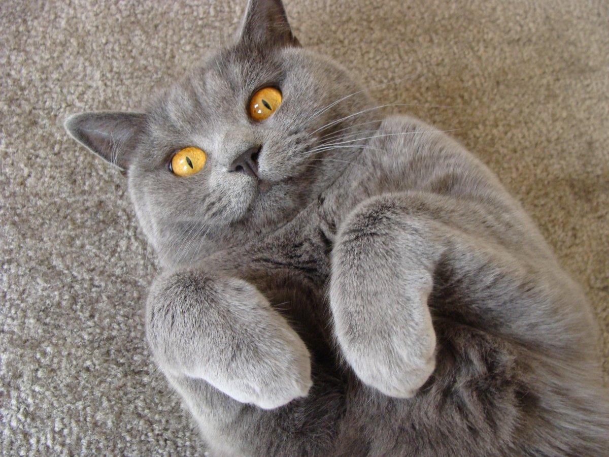 Шведские исследователи приступили к изучению языка кошек