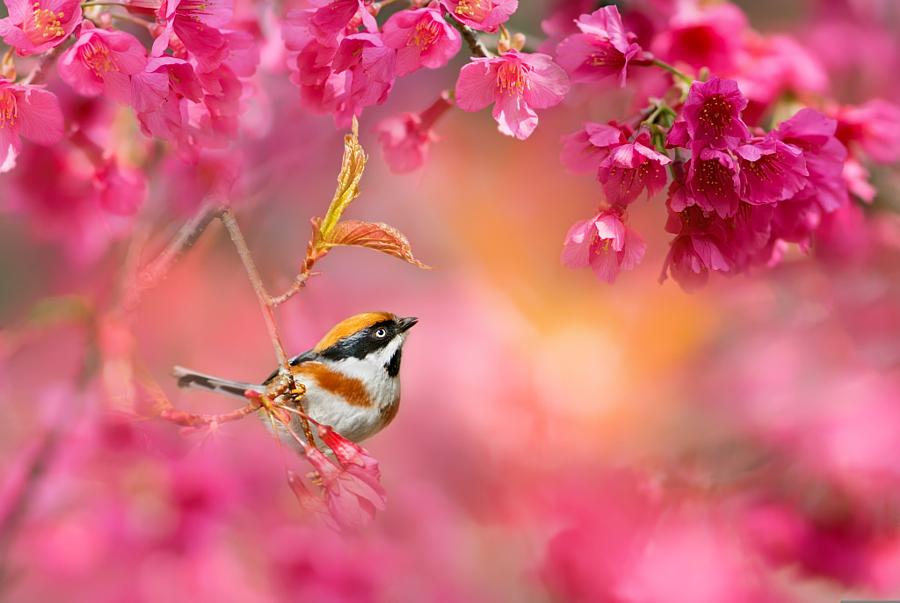~ Cherry blossom season ~, автор — FuYi Chen на 500px.com