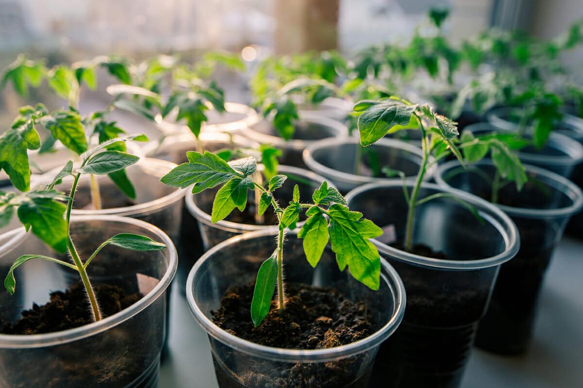 Правильный способ сажать помидоры - так, чтобы они были выше 2 метров огород