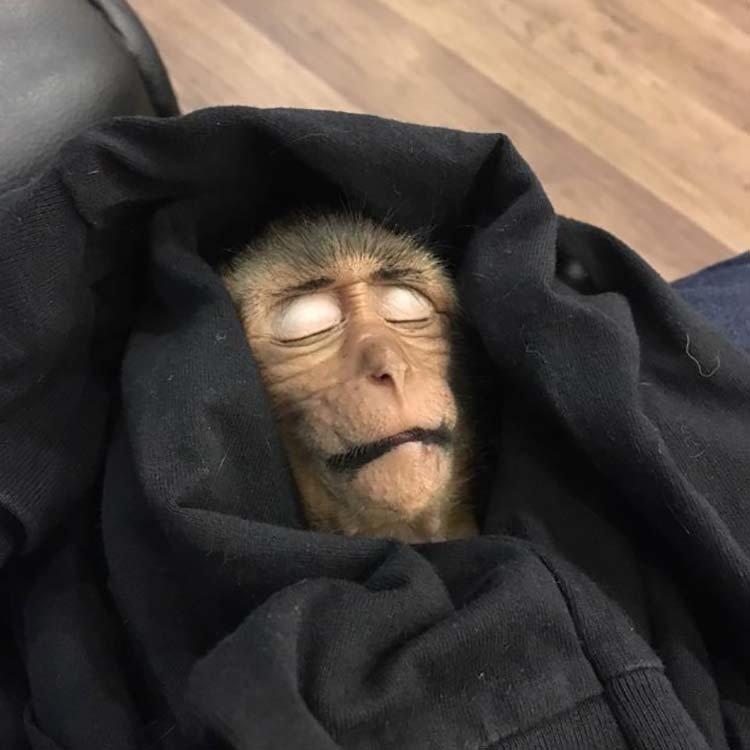 В Таиланде обезьянка уснула на 10 часов после того, как выпила немного кофе