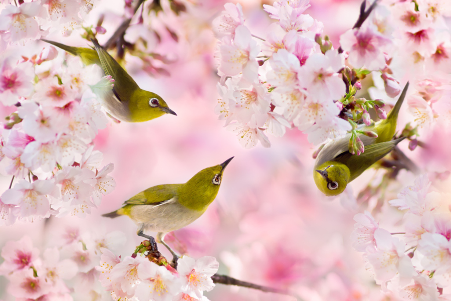 ~ We Love Cherry Blossoms ~, автор — FuYi Chen на 500px.com
