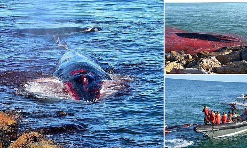 Умирающий кит приплыл к людям за помощью