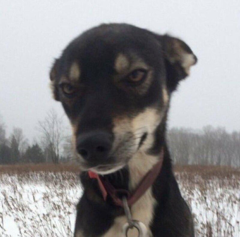 Бу - покоритель сердца другой собаки из упряжки, Люси животные, истории, мило, работа, собака, собаки, упряжка, фото
