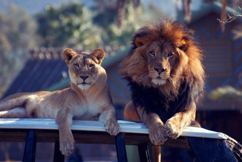 красивые картинки лев и львица вместе делами, решение юридических