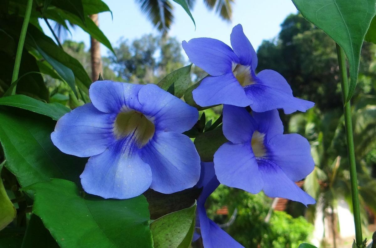 20 голубых цветов для вашего сада дача,сад и огород,цветоводство