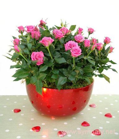 Уход за розой декоративной