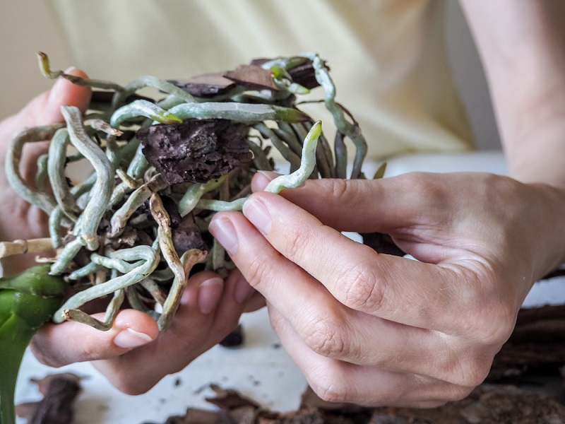 корни орхидеи сохнут