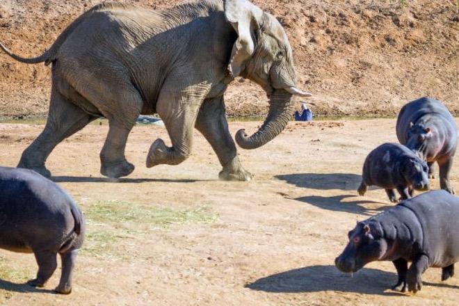 Слон наготове: гигант саванны наказывает бегемотов и крокодилов