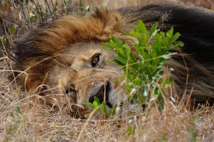 ÑчаÑтливый лев