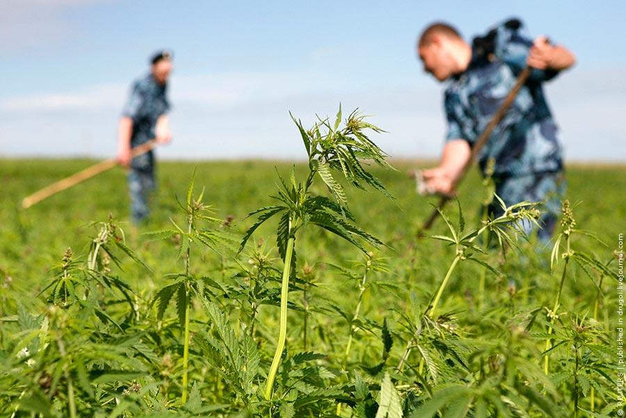 Битва за урожай: Полицейские в Подмосковье скосили более трех тонн конопли