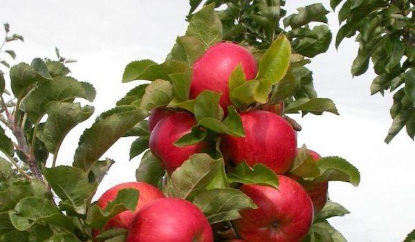 Колонновидные яблони: плюсы и минусы