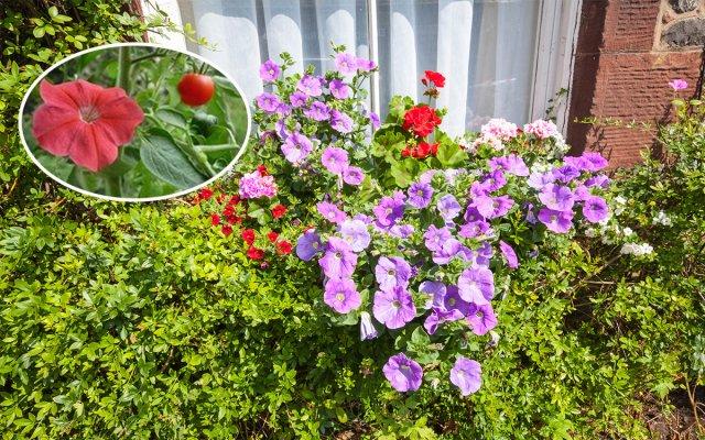 Петунии как удалять отцветшие цветы