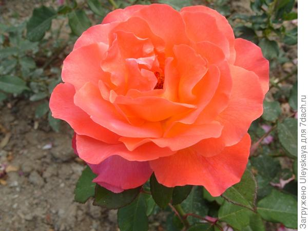 Чайно-гибридная роза сорт Taifun