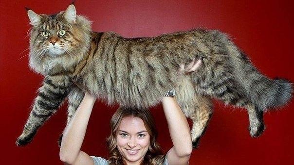 Руперт самый крупный из нераскормленных котов в мире