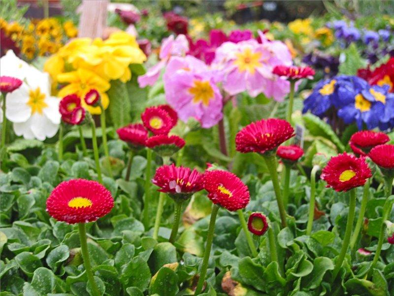 Июнь – пора сеять двулетние цветы