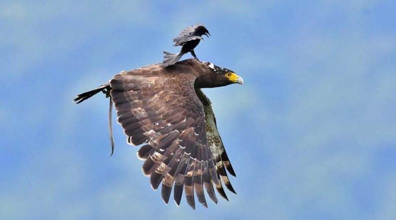 Маленькая, но очень гордая птичка, прокатилась верхом на могучем орле