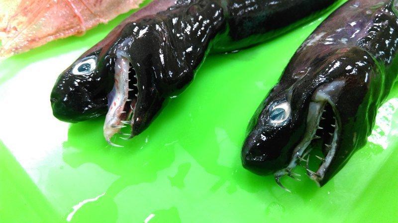 У берегов Тайваня выловили ужасную акулу с выдвижными челюстями