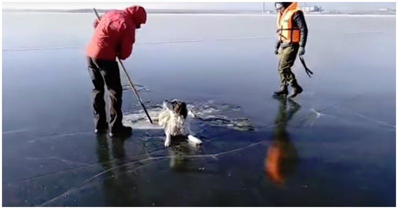 Спасатели освободили собаку, вмерзшую в лед видео, животные, озеро, собака, спасатели, спасение