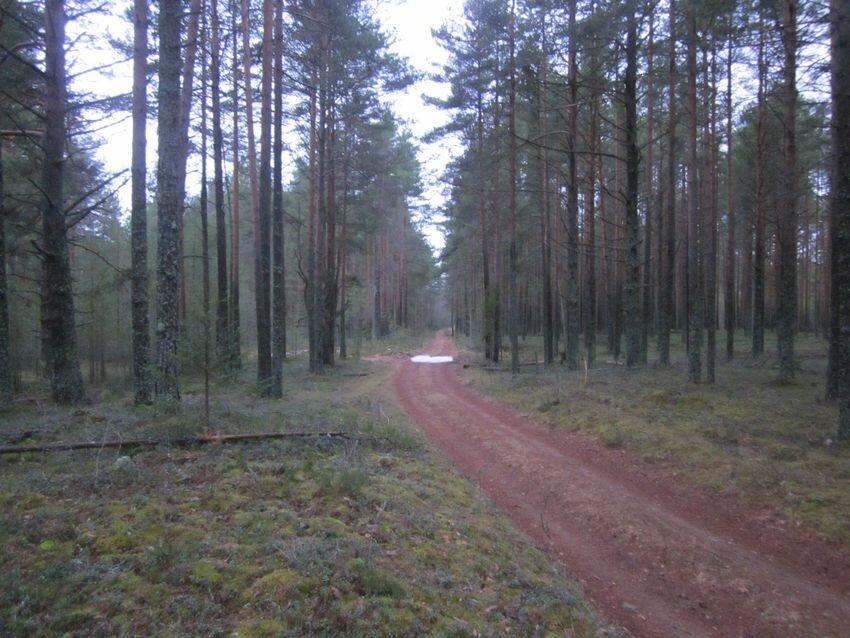 Молодой сосновый лес в Вепсском лесу