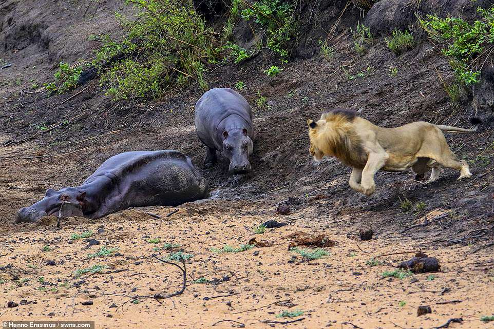 Heartbreaking: The baby calf chases the lion off, but sadly neither mother nor baby calf made it, with both perishing from dehydration within a few days of these photos being taken