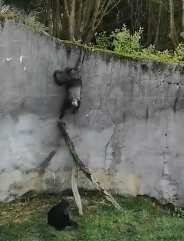 Смышленые шимпанзе использовали ветки поваленного дерева в качестве лестницы, чтобы сбежать из своего вольера в зоопарке Белфаста видео, животные, забавно, зоопарк, обезьяна, обезьяны, приматы, шимпанзе