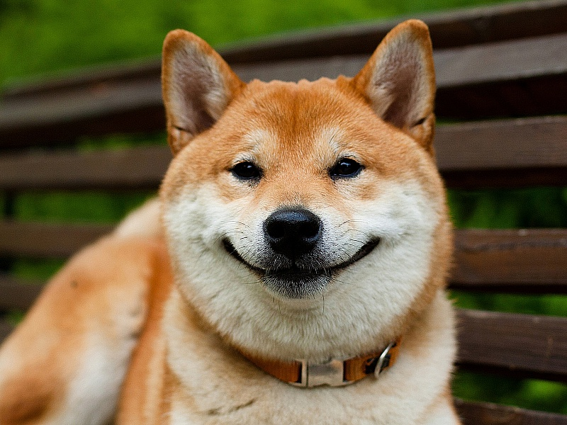 Собака-улыбака. Сиба-ину
