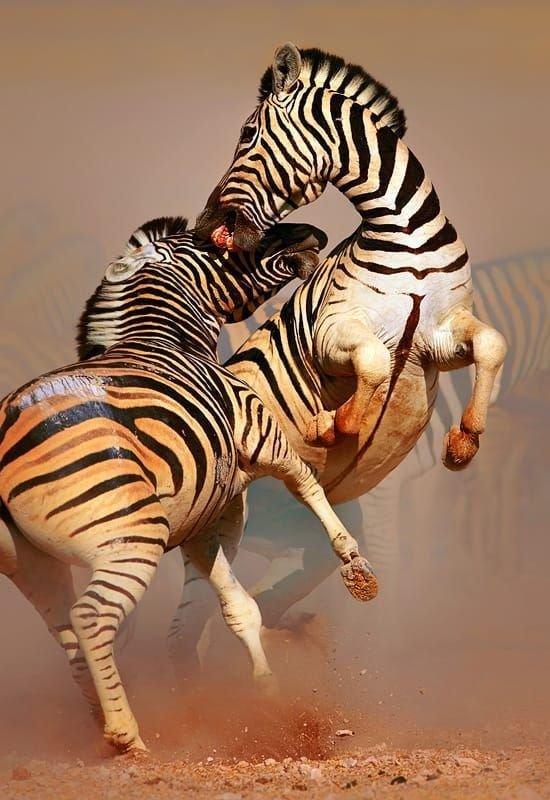 Борьба за продолжение рода тоже жестока жестокая, животные, звери. выживание, интересное, природа