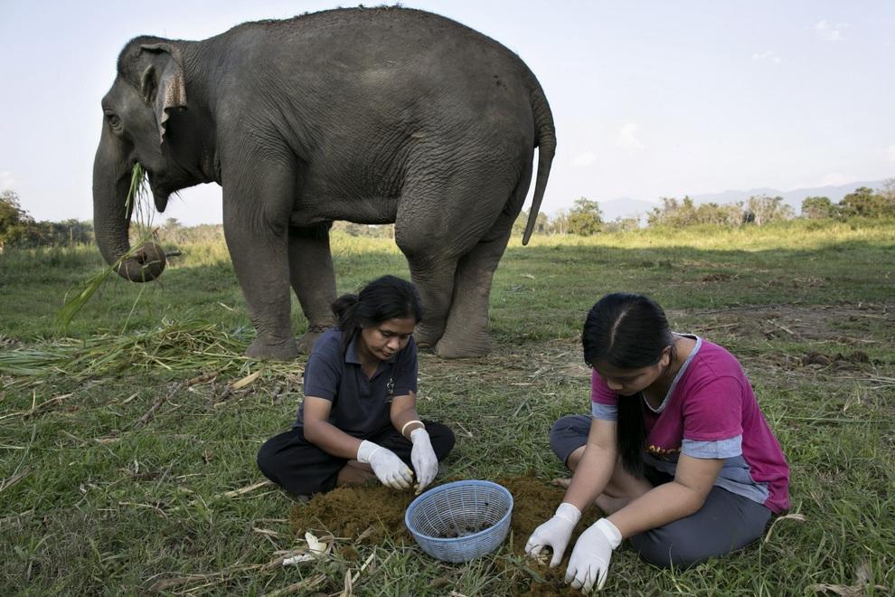 Кофе премиум класса из слоновьего навоза