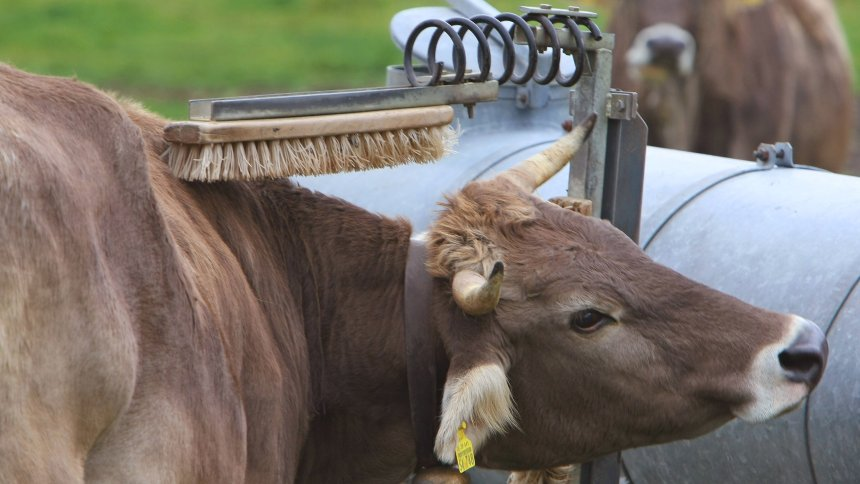 Почеши корове спинку