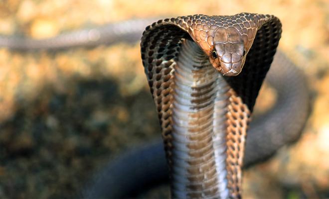 Огромная королевская кобра приползла в деревню и попросила о помощи