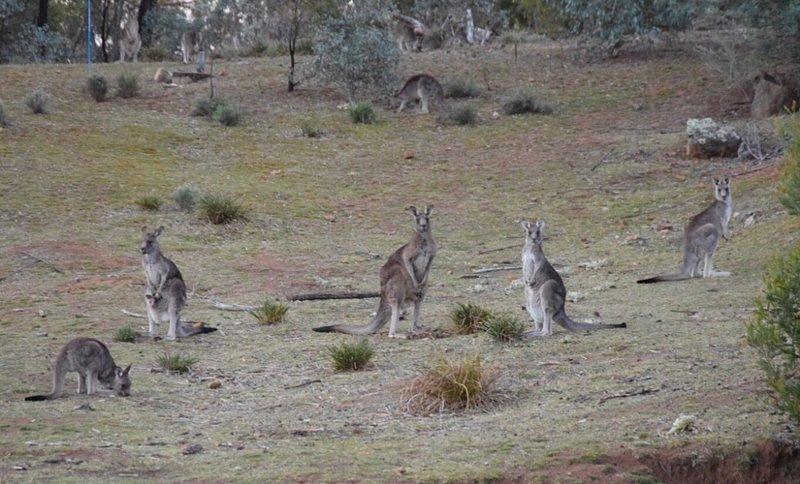 В соцсетях многие люди выкладывают фотографии кенгуру, сделанные в тех местах, где их никогда до этого не было — а именно в подозрительной близости к человеческим поселениям австралия, в мире, животные, кенгуру