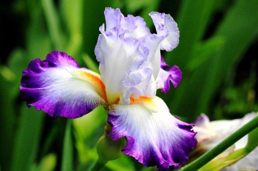 Июль – время пересаживать ирисы в саду! Мастер-класс