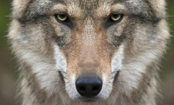 Мужчина 7 дней кормил волка в ловушке. Прошли годы, волк неожиданно появился из леса и помог Культура