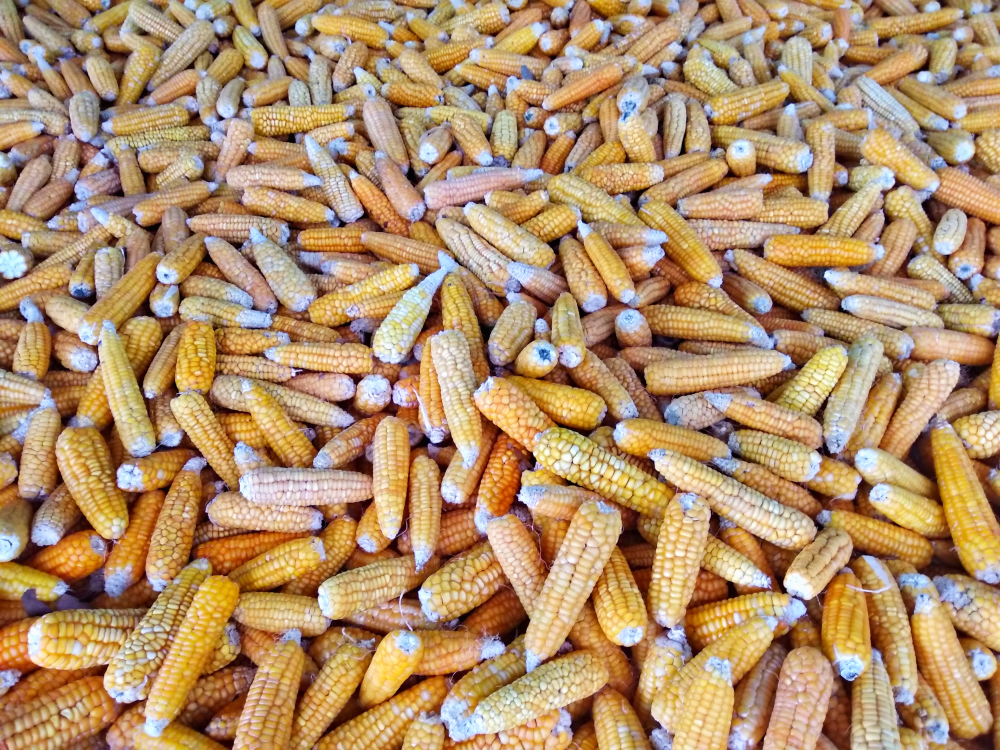 Новая трансгенная кукуруза: Чем нас кормят химические концерны россия