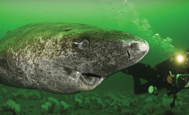 Сколько лет может прожить акула доживает, продолжительность, Акулы, вышесказанное, летНа, жизни, других, видов, влияет, размер, скорость, метаболизма, Средняя, летПравда, никак, акула, относится, гренландской, акуле, уникальный