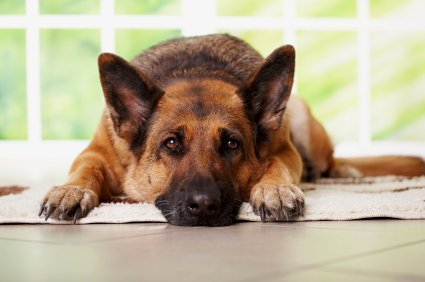 Альтон был строгим псом породы немецкая овчарка.