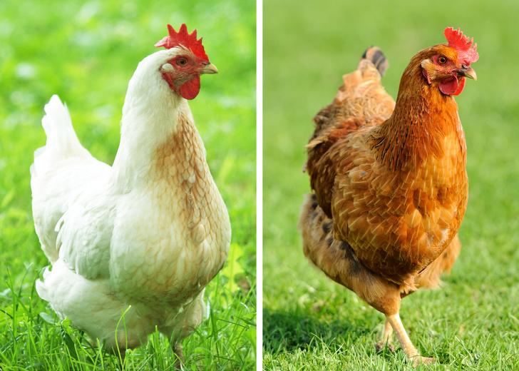 Вот чем на самом деле отличаются коричневые яйца от белых