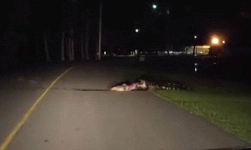 Гигантский аллигатор устроил себе обед на шоссе