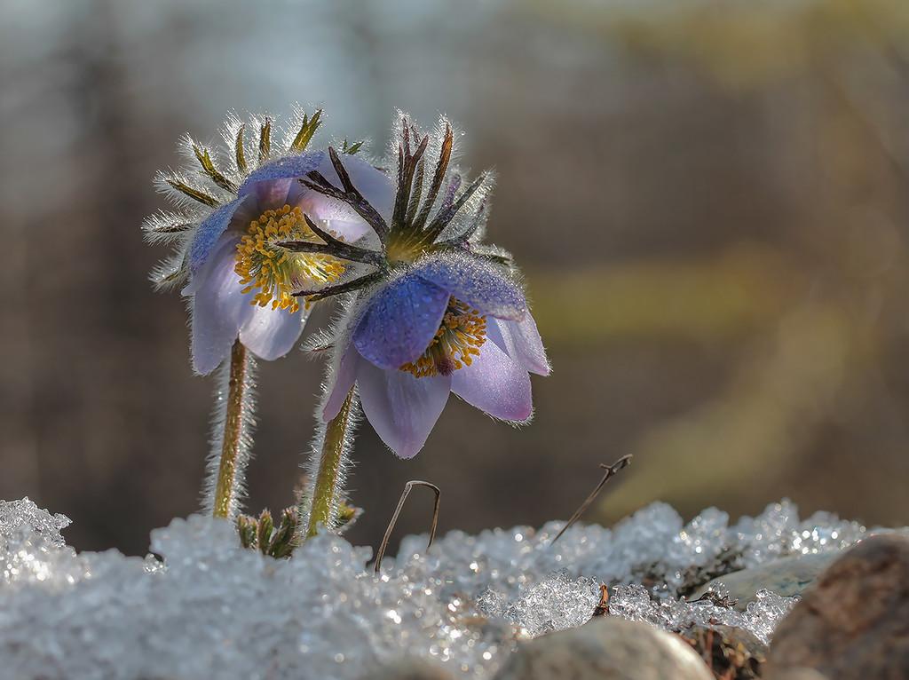 Как тихо просыпается весна Ресницы распахнув однажды утром...