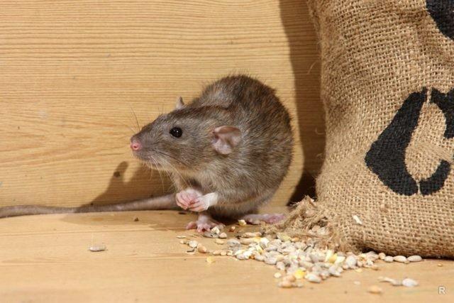 Запахи, которые на дух не переносят мыши, помогут отпугнуть их от дома грызуны,полезные советы