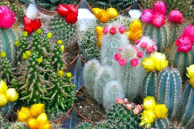 Секреты ухода за кактусами чтобы они цвели