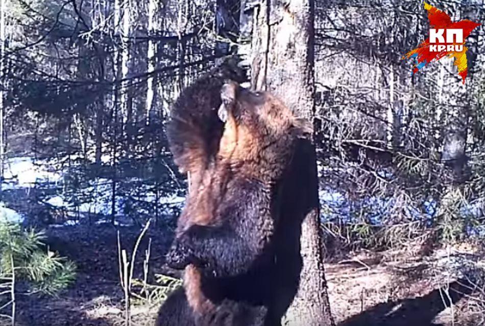 Танцующий медведь Ферапонт из Висимского заповедника стал звездой Интернета