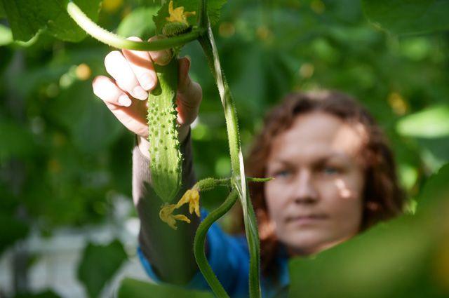 Майские огурчики. Правила получения раннего урожая