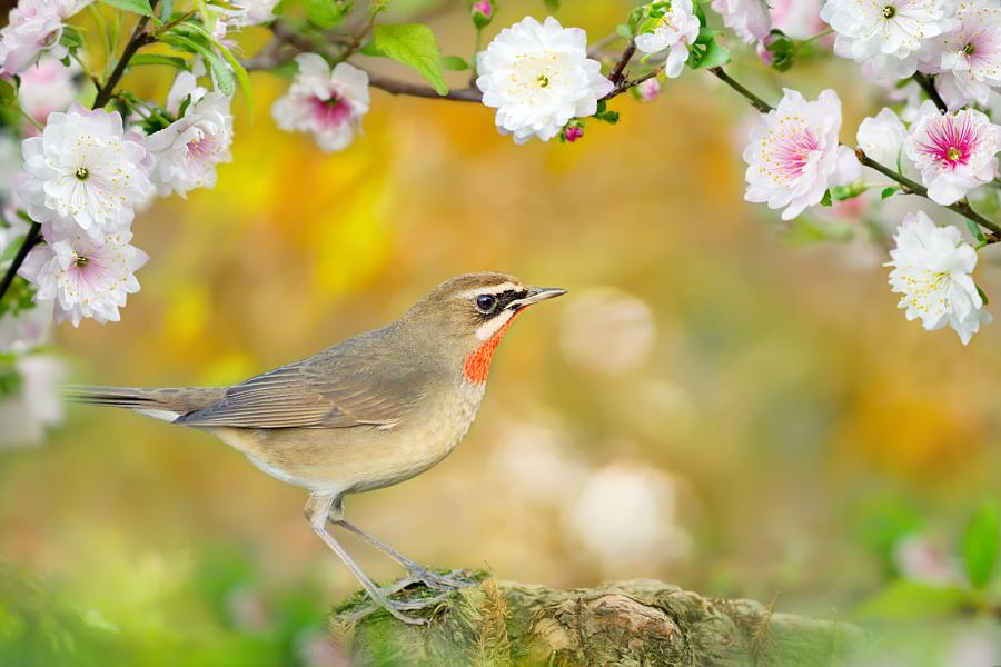 ~ The arrival of spring blossom ~, автор — FuYi Chen на 500px.com