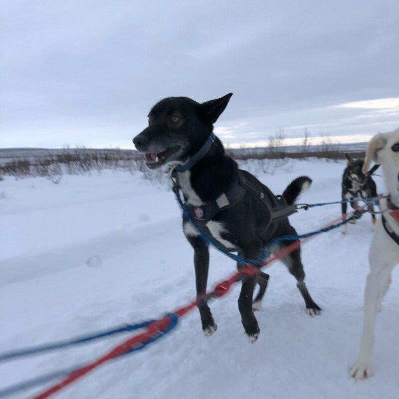 9. Эбони (Ebony) - два года животные, истории, мило, работа, собака, собаки, упряжка, фото