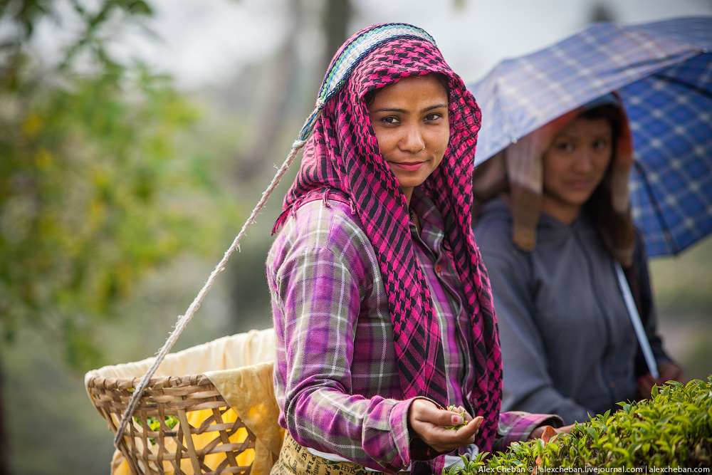 Почему чай собирают только женщины?