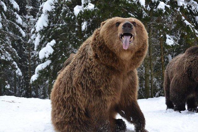 """В природном парке """"Синевир"""" мишки отказываются впадать в спячку и балуются в снегу с утра до ночи"""